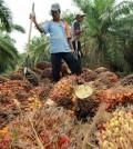 Kelapa Sawit bahan dasar bio diesel