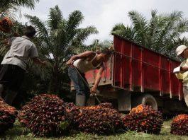 Pekerja mengangkat buah sawit yang dipanen di Kisaran, Sumatra Utara, Indonesia. - Dimas Ardian / Bloomberg